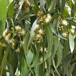 hunlife alapanyag eukaliptusz illóolaj