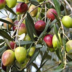 hunlife alapanyag olívaolaj